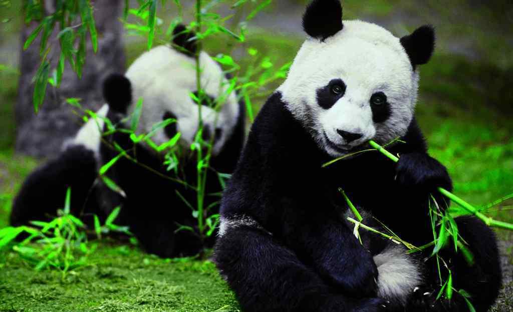 大熊猫的生活习性 大熊猫生活在什么地方