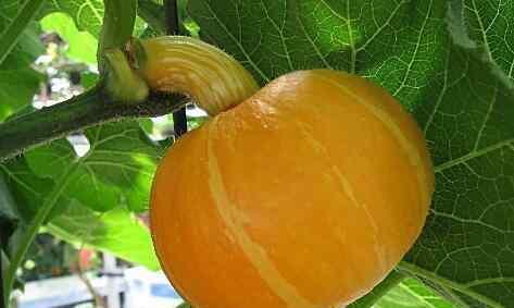 甜栗南瓜 甜栗南瓜有什么营养 甜栗南瓜的营养价值介绍