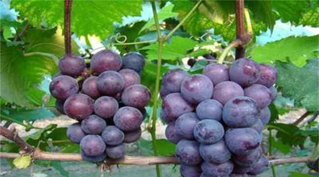 葡萄的营养价值及功效 葡萄的功效与作用