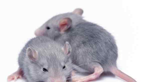 花枝鼠和老鼠的区别 花枝鼠有哪些潜在病毒