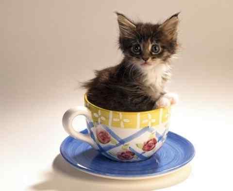 茶杯猫 茶杯猫怎么养 多少钱一只