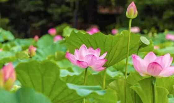莲花和荷花是一种花吗 荷花与莲花有什么区别 荷花的功效与作用