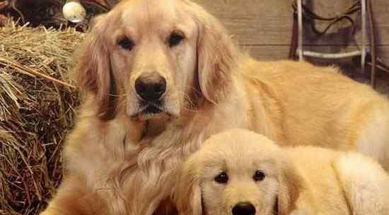 纯种金毛价格 纯种金毛幼犬多少钱一只,至少两千起步品相越好价格越高