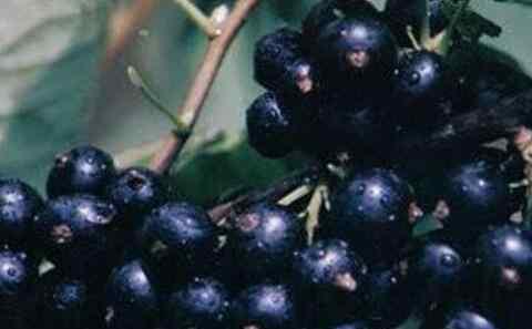 黑豆果 黑豆果的图片 黑豆果的功效与作用