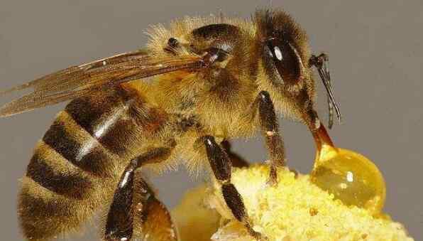 蜜蜂怎么酿蜜 蜜蜂怎样酿蜜 蜜蜂为什么要酿蜜