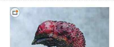 鸡头果 鸡头果图片和功效 鸡头果怎么吃