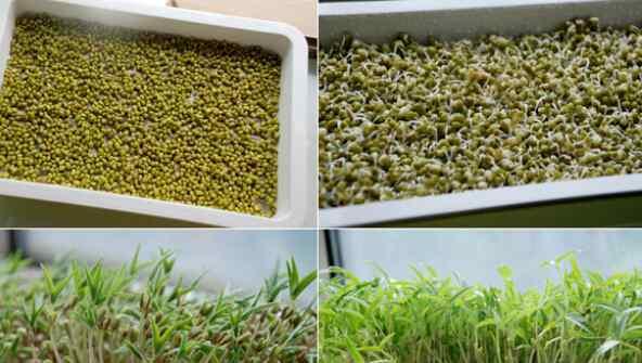 绿豆芽种植方法 家庭芽苗菜的种植方法技巧