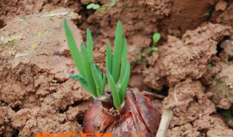 洋葱发芽怎么种植 洋葱发芽了可以吃吗 洋葱发芽了可以种吗
