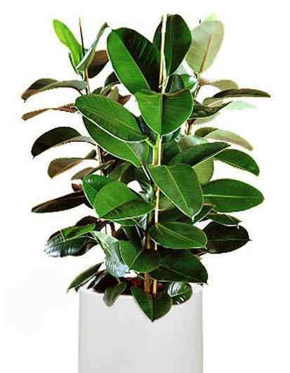 橡皮树有毒吗 橡皮树有毒吗 橡皮树开花吗