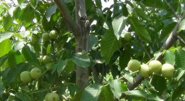 核桃树不结果怎么刮皮 核桃树怎么种 核桃树不结果怎么回事