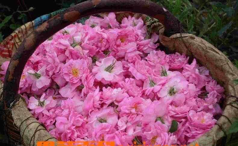 玫瑰纯露的功效与作用 玫瑰纯露的功效与作用