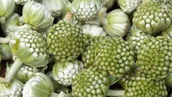绿萝花的作用 绿萝花的功效与作用 绿萝花的药用价值有哪些