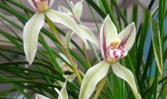 兰花怎么养殖 兰花怎么养 养殖兰花的技巧和注意事项