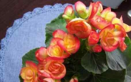 海棠花的养殖方法 海棠花的养殖方法与注意事项