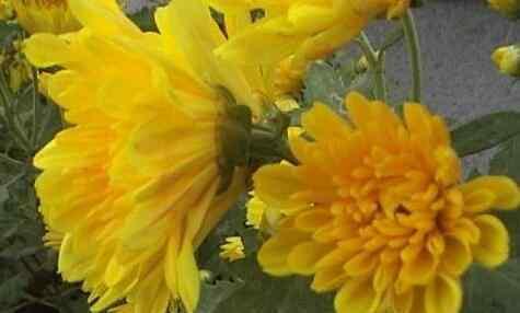 菊花怎么养 月月菊花如何养 月月菊花的养殖方法