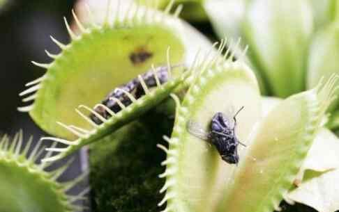 捕蝇草怎么养 捕蝇草怎么养 捕蝇草的养殖方法