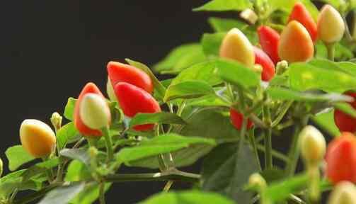 五彩椒 五彩椒什么时候播种 五彩椒的种植方法