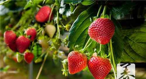 兰芝草莓酸奶面膜 兰芝草莓酸奶面膜