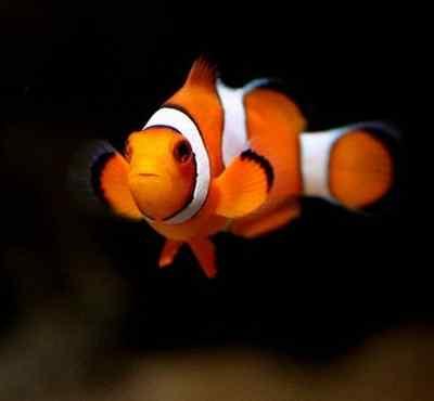 小丑鱼价格 小丑鱼价格多少钱一条 好养吗怎么养