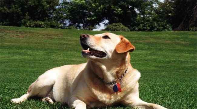 宠物狗智商排名前十 十大忠诚的狗排名