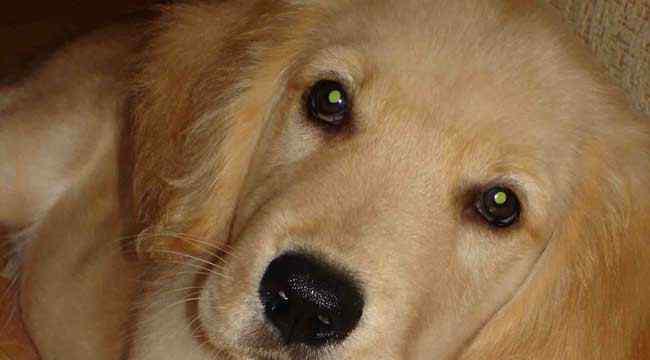金毛和拉布拉多的区别 金毛犬和拉布拉多的区别