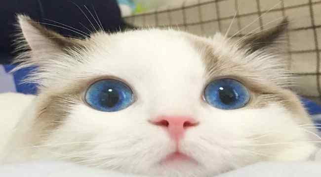 最可爱的猫 超级可爱的布偶猫图片鉴赏