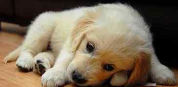 叹气 狗狗为什么也会像人一样叹气? 叹气总意味着悲叹吗?