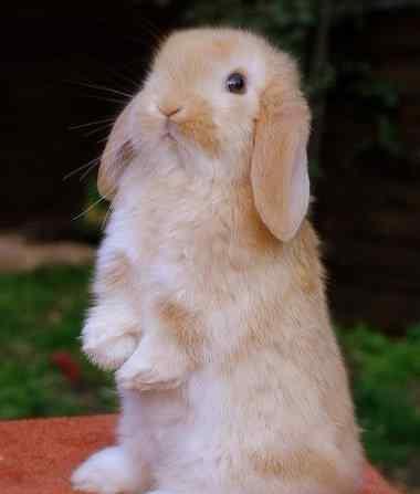宠物兔怎么养 初养宠物兔必读:怎么训练宠物兔子在固定的地方撒尿拉屎?