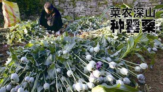 种罂粟当菜吃 老人为什么会种罂粟当菜吃?