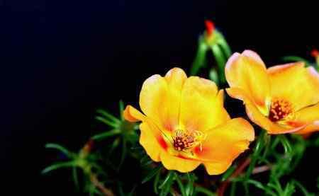 太阳花什么时候开花 午时花什么时候开花? 怎么养才会让午时花开花?