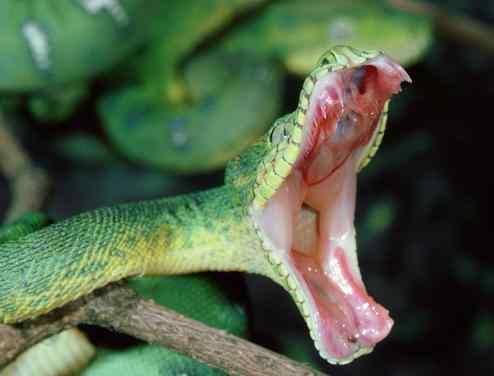 梦见被蛇追赶 梦见被蛇追,有困难与危险!