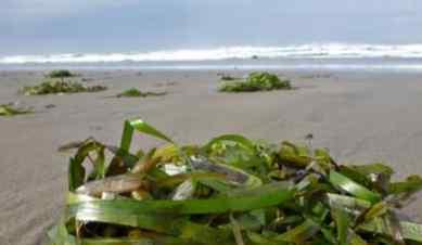昆布和海带的区别 日本昆布和海带的区别是什么呢