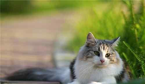 慢性肾衰治疗 猫咪患慢性肾衰竭的诊断及治疗