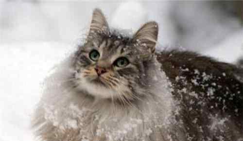心肌炎的症状 猫咪心肌炎的症状