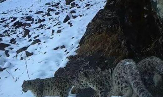 【罕见】甘肃四只雪豹同框 一母带三崽练习生存技能