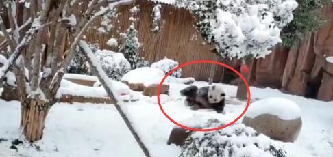 【热议】四川熊猫初次见到沈阳大雪懵圈了 激动地在雪地里撒欢打滚(视频)