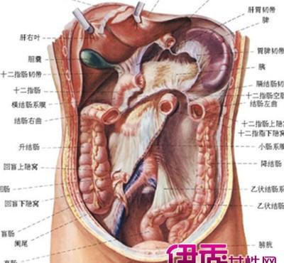 【图】人体腹部结构图片展示 介绍人体内各器官的作用