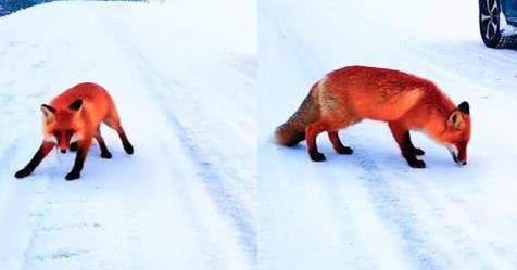 【热议】火狐狸事件当事人现身致歉  狐狸鲜红皮毛做了什么处理的?