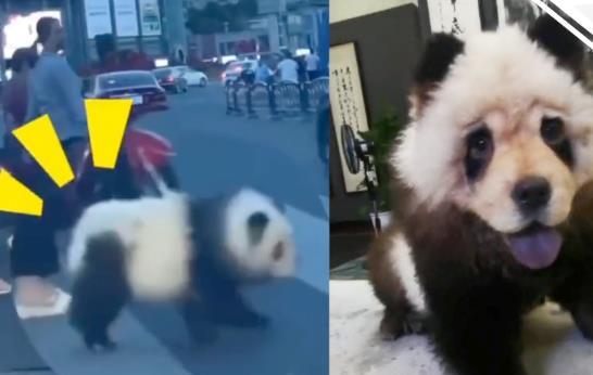 四川乐山街头遛熊猫真相 主人表示是染了色的狗
