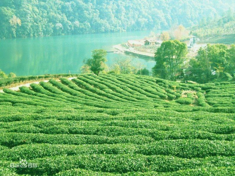 毛尖茶产于 了解毛尖茶的主要产地