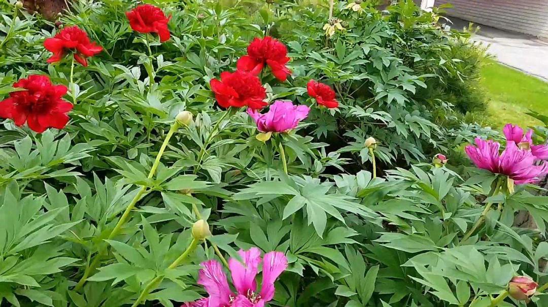 芍药花期是多少天 又该怎么养殖呢