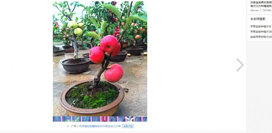 苹果盆栽方法 如何种植苹果盆栽