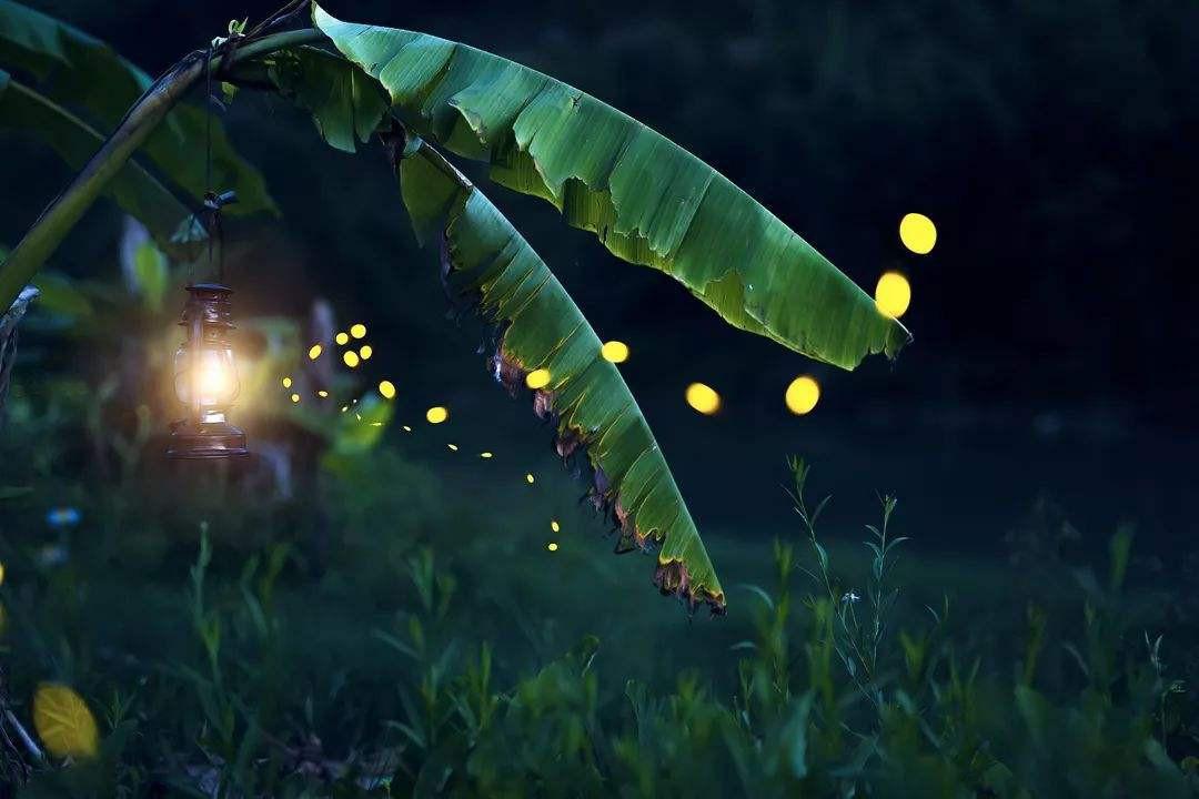 如何养萤火虫 养殖萤火虫的方法