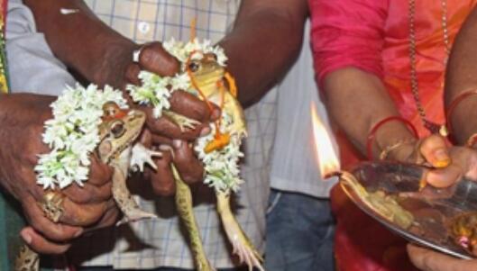 【奇闻】印度为求雨结婚的青蛙离婚了 印度给青蛙结婚求雨是什么操作
