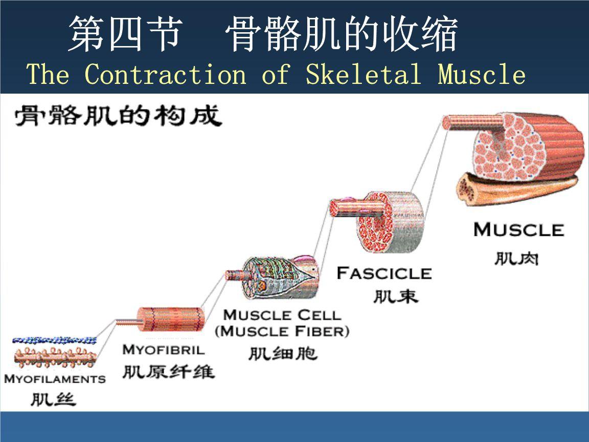 横纹肌在什么位置 怎么构成的