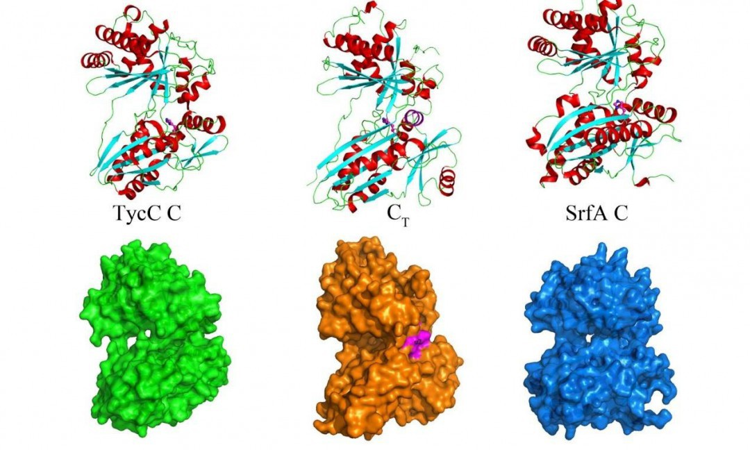 核糖体的功能 核糖体的功能是什么