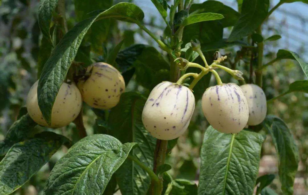 人参果怎么种植 种植人参果的方法