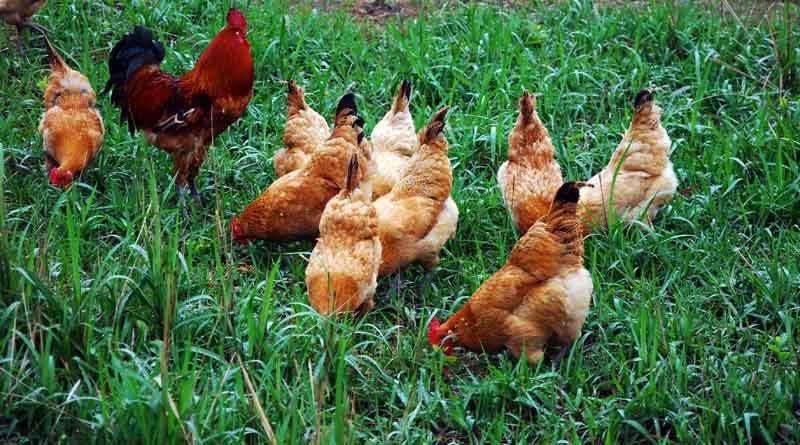 养一千只土鸡的成本 有什么费用