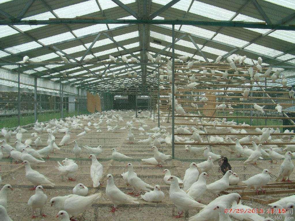 鸽子养殖大棚的设计 快来看看吧