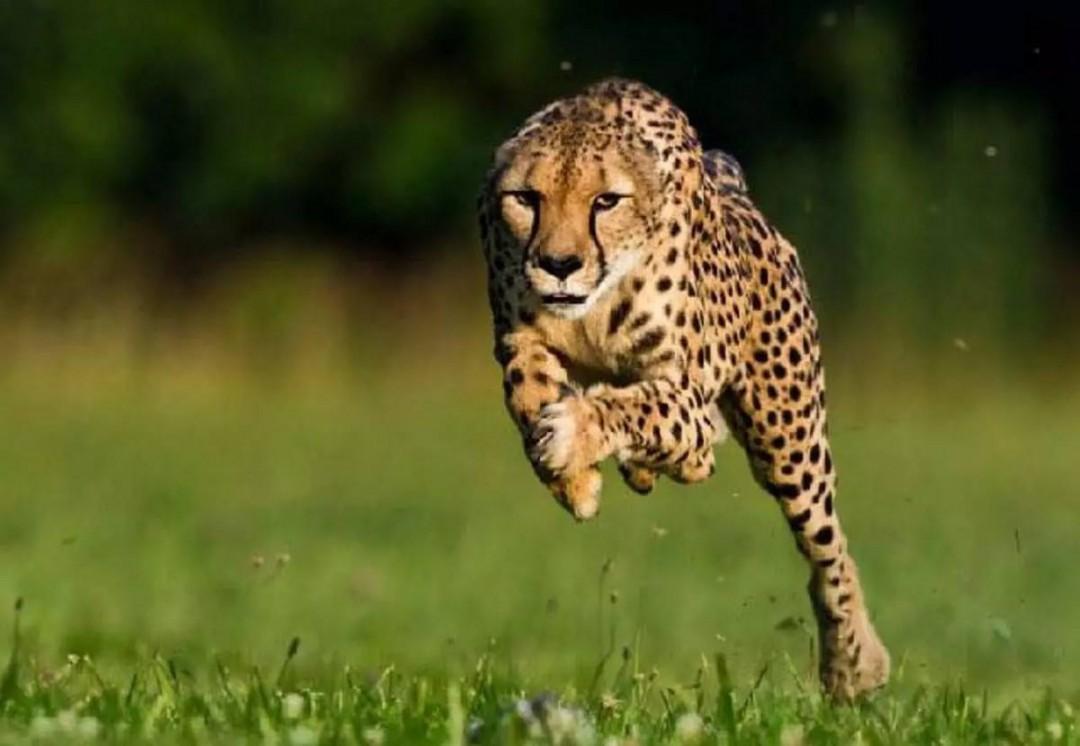 豹子的速度是多少 豹子是什么动物